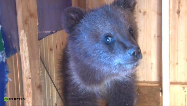 Каша для косолапого: житель Ухты спас и приютил трехмесячного медвежонка