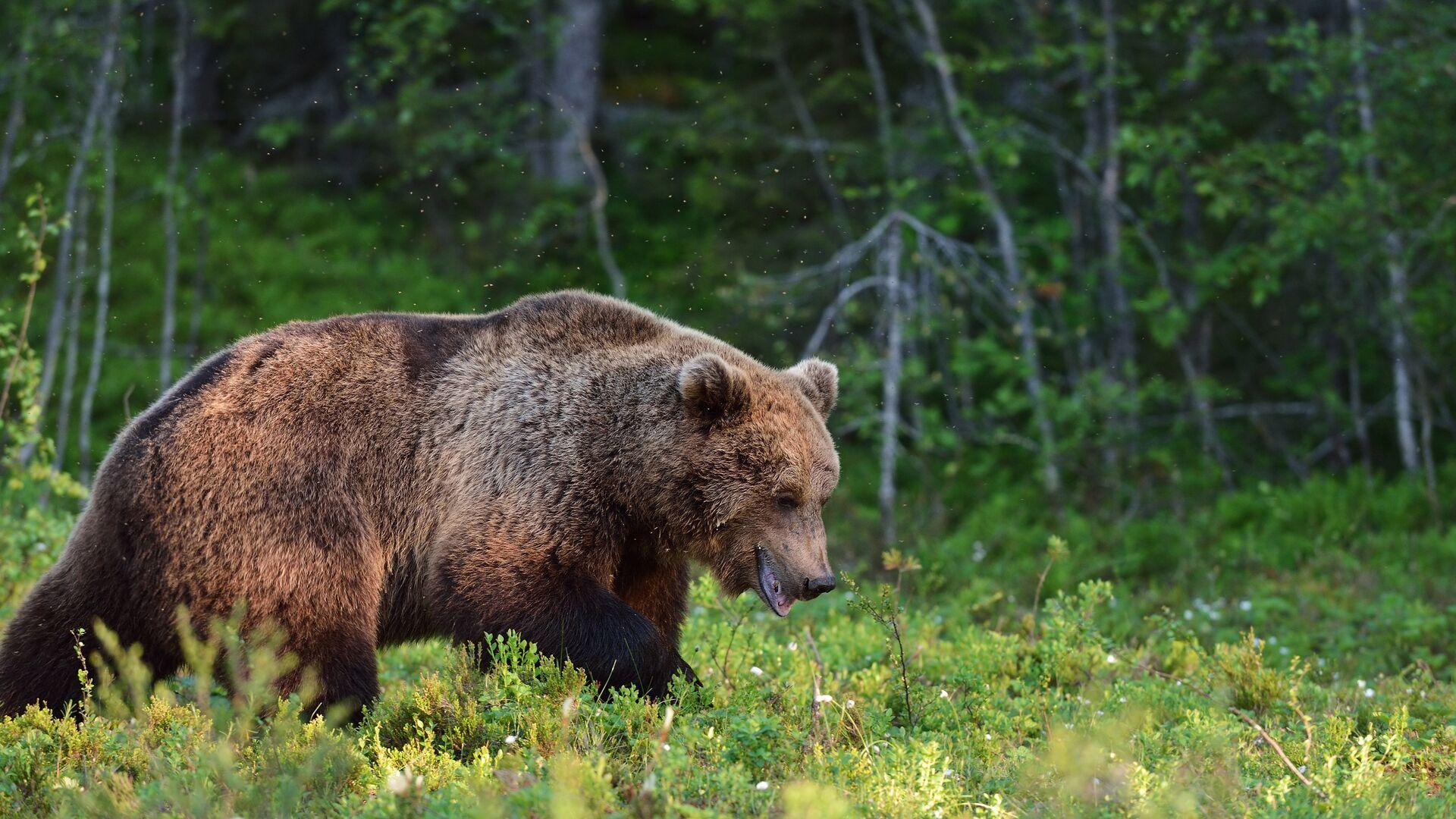 Бурый медведь - РИА Новости, 1920, 05.10.2020