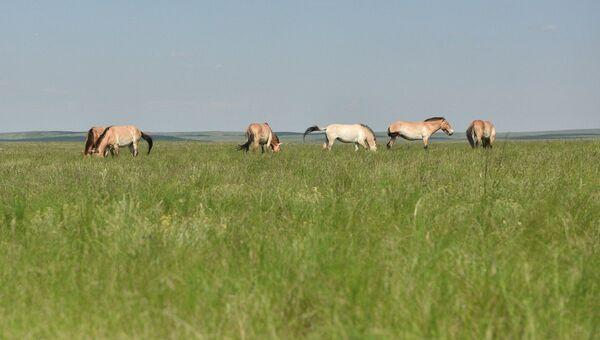 Лошадь Пржевальского в Оренбургском заповеднике. Архивное фото