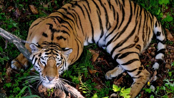 Амурская тигрица. Архивное фото