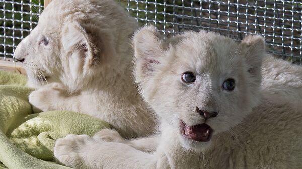 Белые львята в зоопарке Магдебурга