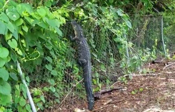 Забор аллигатору не помеха