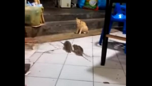 Крысиные бои