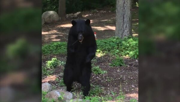 Медведь прямоходящий