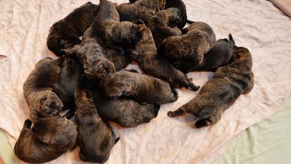 17 щенков мастифа родились. Архивное фото