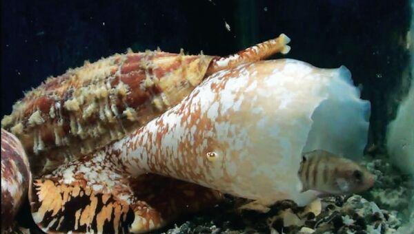 Улитка-конус, один из самых опасных моллюсков в море