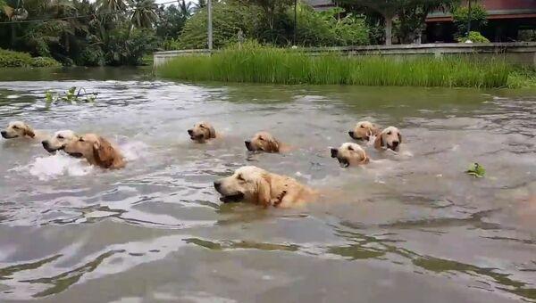 Шестнадцать одинаковых лабрадоров устроили заплыв