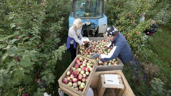 Сбор урожая яблок в Белоруссии