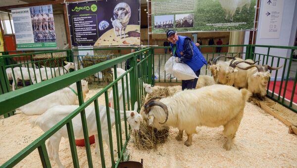 Козы породы Оренбургская пуховая на 18-й Российской агропромышленной выставке Золотая осень на территории ВДНХ