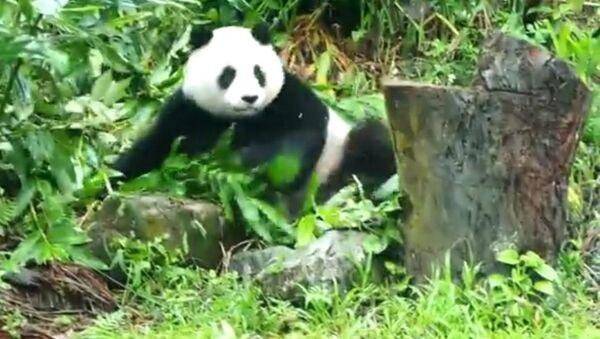 Неугомонная панда