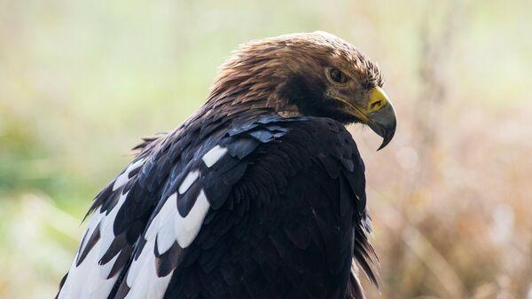 Королевский орел в питомнике хищных птиц в заповеднике Галичья Гора в Липецкой области
