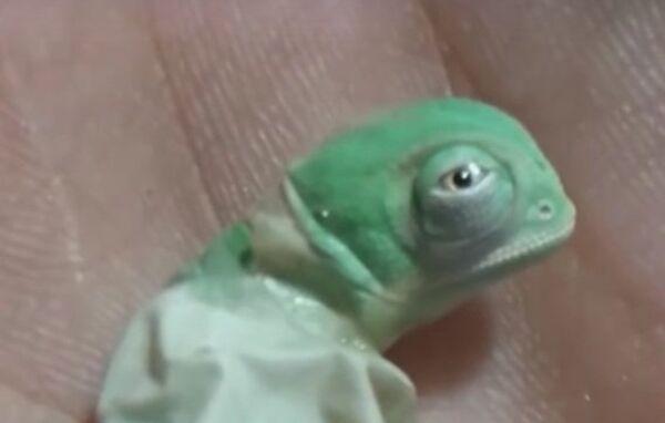 Малыш-хамелеон