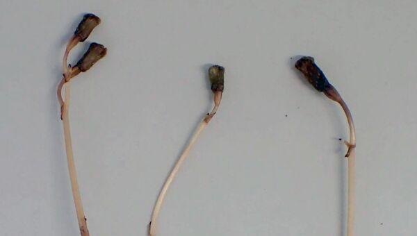 Растение Gastrodia kuroshimensis, не способное цвести и фотосинтезировать