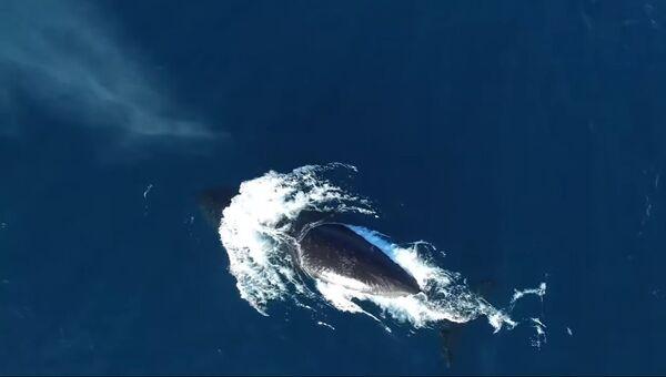 Гренландских китов сняли с помощью дрона