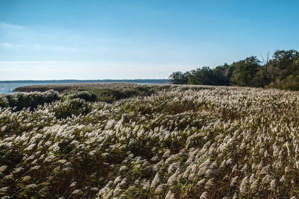Тростник обыкновенный на берегу Куршского залива в национальном парке Куршская коса