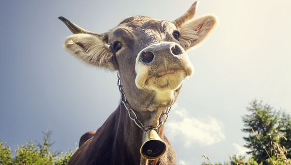 Корова с колокольчиком