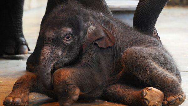 Слоненок, родившийся 18 января в зоопарке Ростова-на-Дону в семействе азиатских слонов Синты и Юмы