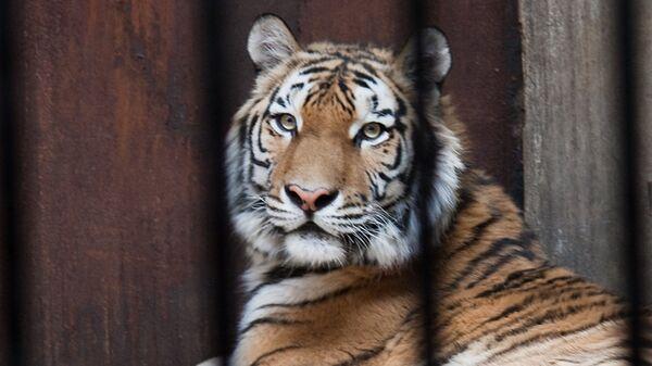 Тигр в китайском зоопарке