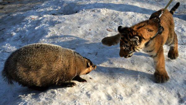 Тигренок Шерхан в Приморском сафари-парке играет с барсуком