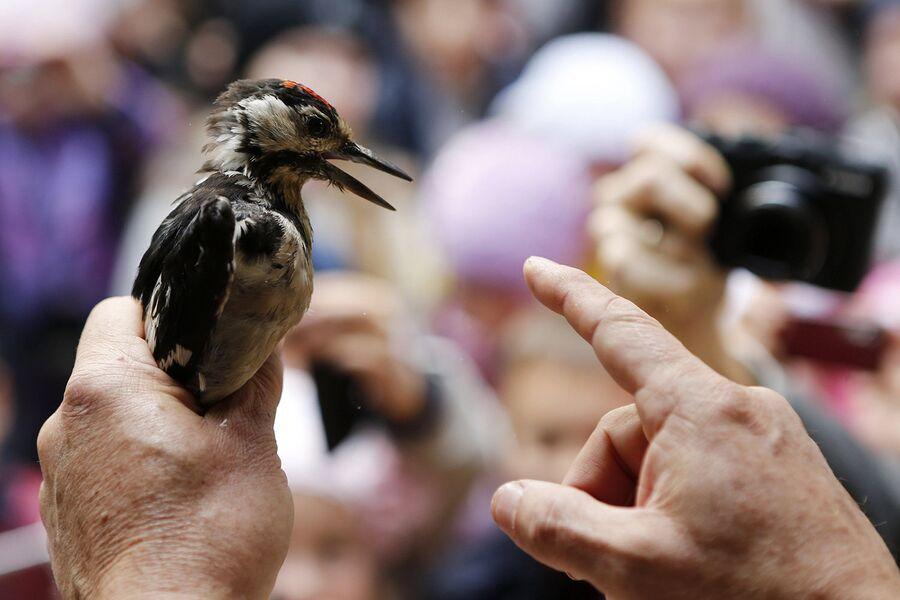 Орнитолог показывает посетителям дятла на станции Фрингилла на Куршской косе