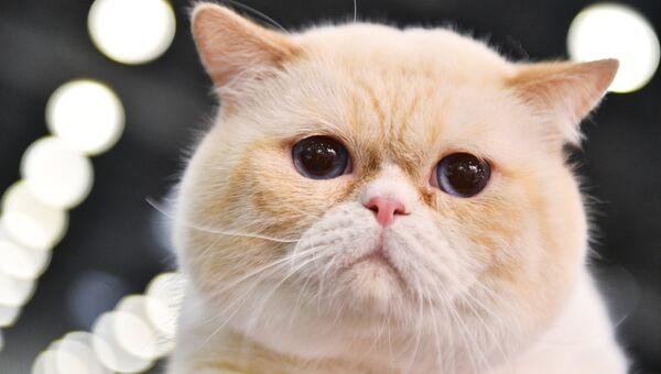 Кошка породы британская короткошерстная. Архивное фото