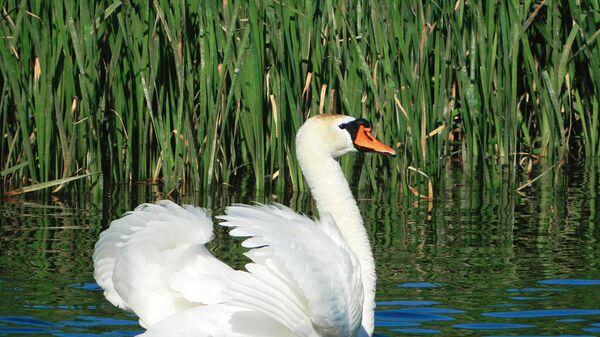 Лебедь шипун в Астраханском заповеднике
