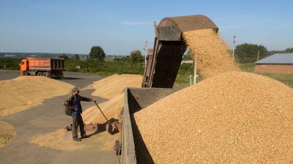 Выгрузка озимой пшеницы на зерновом току