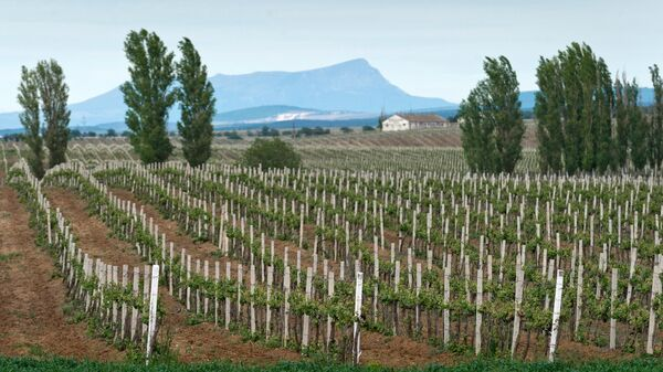 Виноградники на территории Инкерманского завода марочных вин в Инкермане