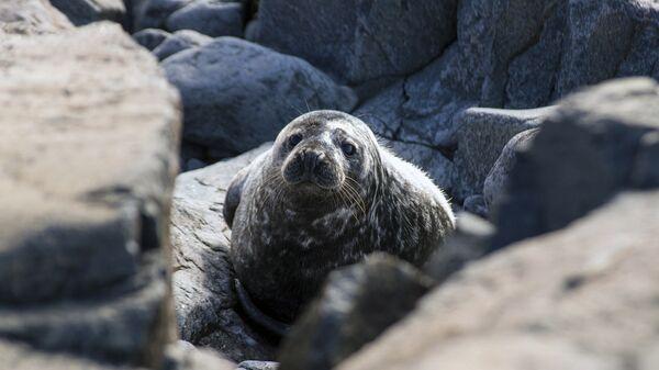 Тюлень на острове Соммерс