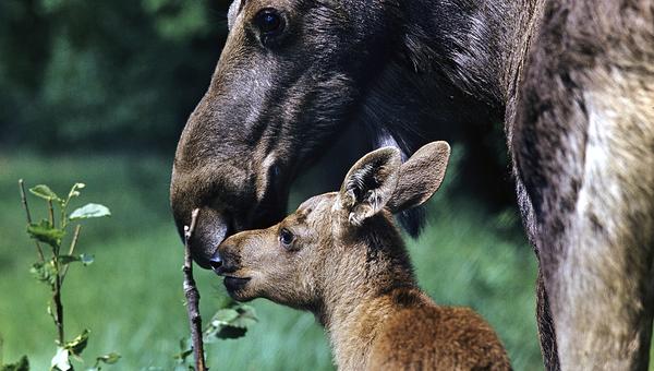 В заповеднике Брянский лес зафиксировали увеличение популяции животных