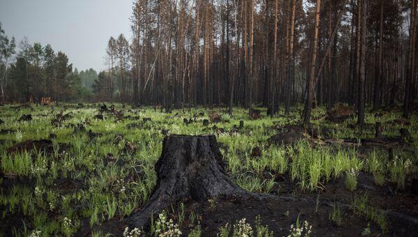 Пни от сгоревших деревьев в окрестностях деревни Черемушки в Прибайкальском районе Бурятии