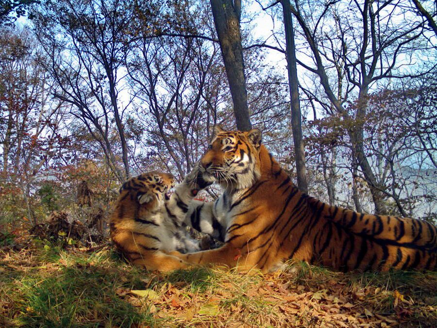 Тигриное семейство устроило фотосессию на «Земле леопарда»
