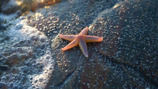 Морская звезда на берегу Онежского залива в районе мыса Глубокий