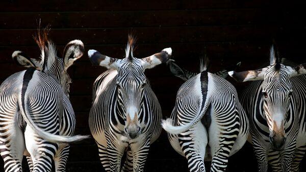 Зебры в зоопарке Аугсбурга, на юге Германии
