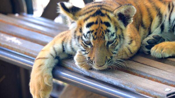 Тигренок в сафари-парке Тайган