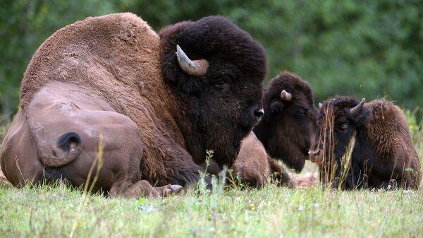 30 бизонов выпустят в дикую природу в Якутии