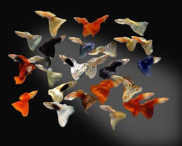 Ради чего рыбки гуппи готовы рискнуть жизнью?