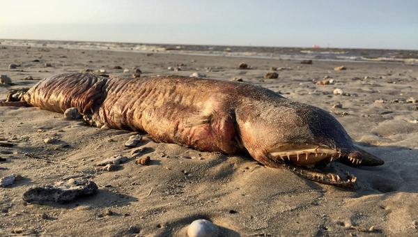 Сушество, обнаруженное на пляже в Техасе