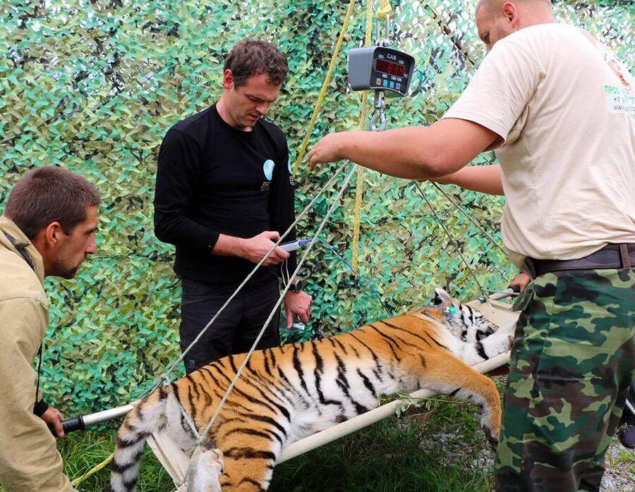 Филиппу отправили в Центр реабилитации и реинтродукции тигров и других редких животных