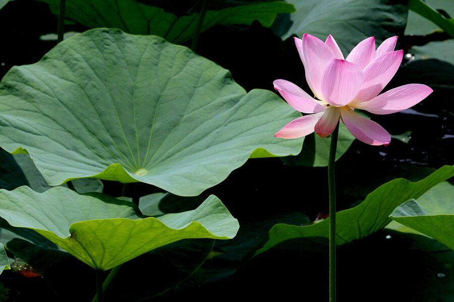 Цветение лотоса на озере Карасиное