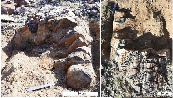 Потенциально древнейшее окаменелое дерево возрастом в 375 миллионов лет