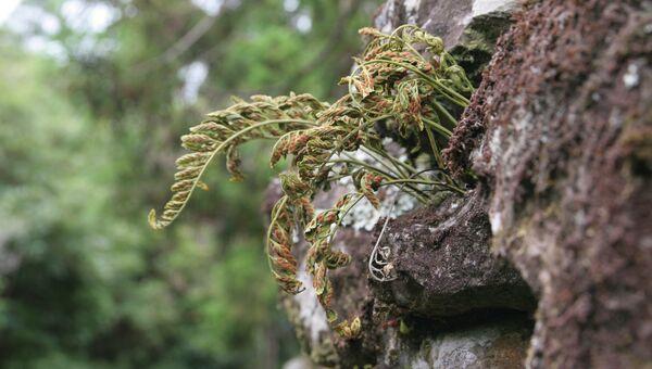 Вымирающий папоротник вида Asplenium auritum