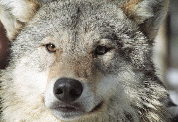 Волк. Архив