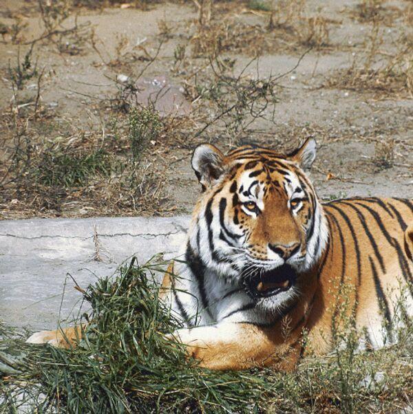 Амурский тигр в Московском зоопарке