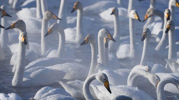 На озеро Аслыкуль в Башкирии прилетели лебеди