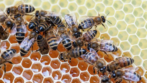 В природе существуют различные породы пчел, в том числе и отечественные: среднерусские и карпатские