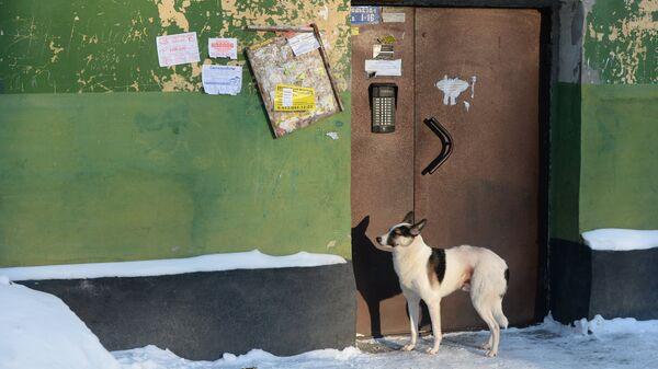 Собака стоит у подъезда в Калининском районе Новосибирска