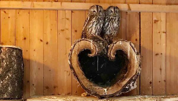Совы, так мило прижавшиеся друг к другу, на самом деле влюбленная пара.