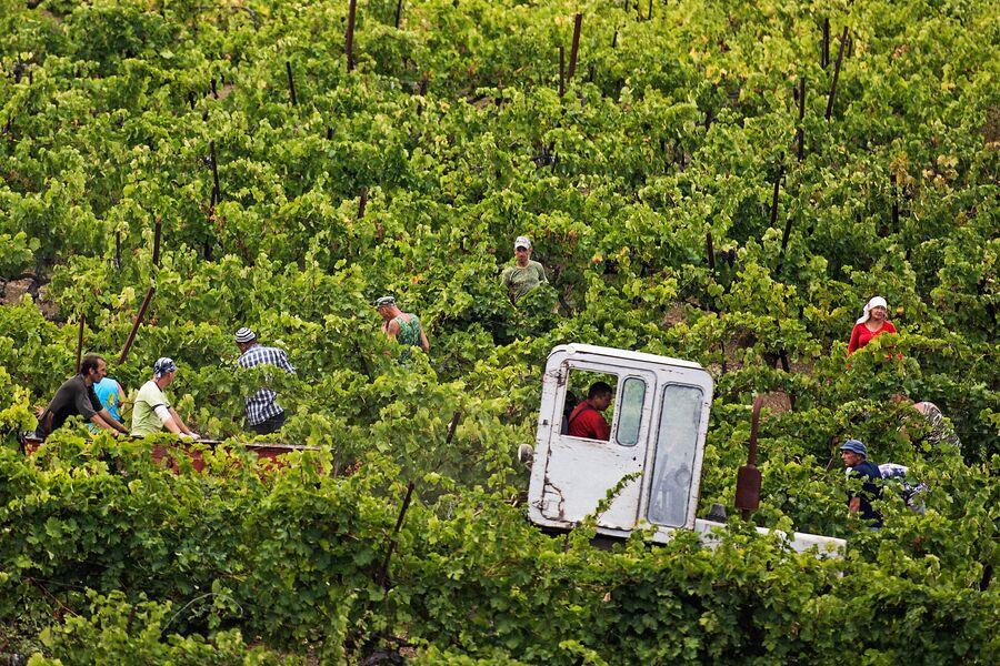 Сбор урожая виноградника