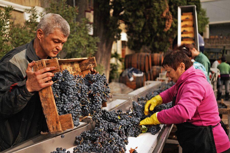 Переработка винограда на винодельческом предприятии Массандра в Крыму